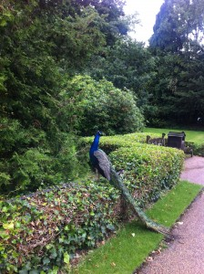 Peacock at Warwick Castle