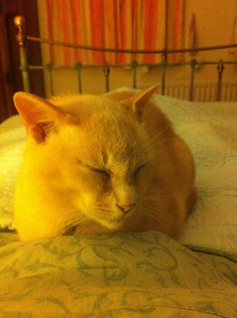 Dorevalley Amberknight - a lap cat