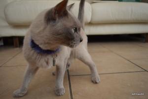 alert burmese cat