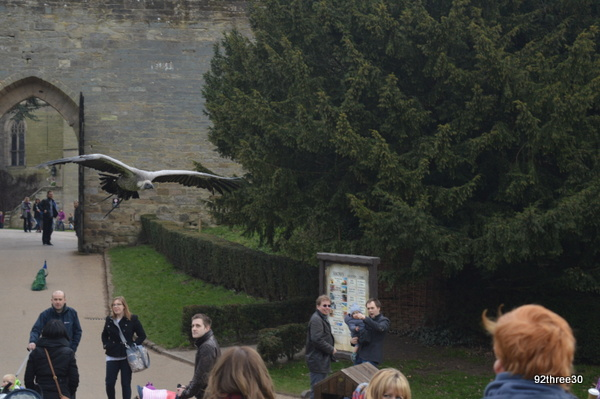 vulture swoops at Warwick Castle
