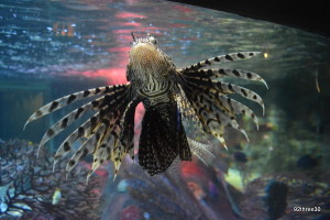 lionfish at sea life centre