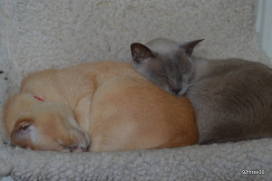 burmese cats asleep