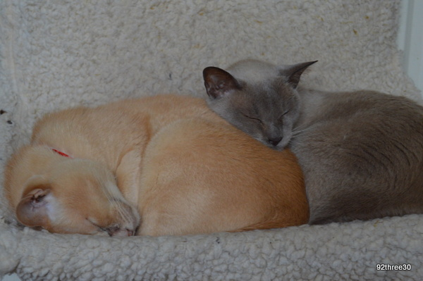 burmese cats asleep