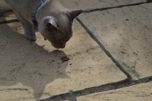 burmese cat and leaf