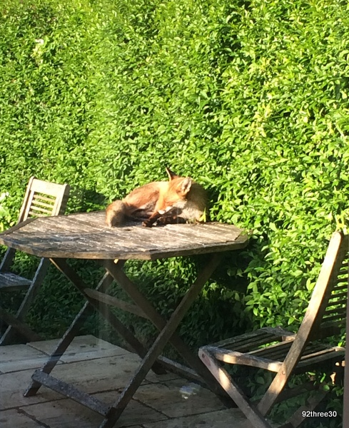fox sunning himself