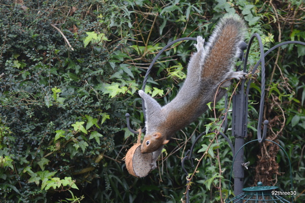 squirrel and coconut shell disappearance