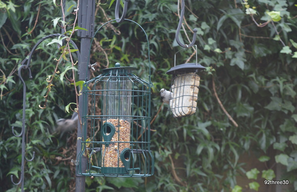tits on the feeder