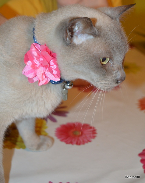 collar for a cat