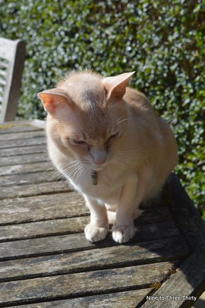 creme burmese cat
