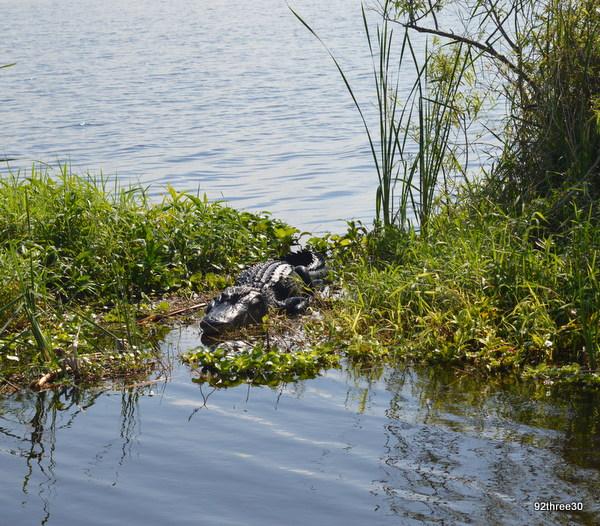 alligators blue cypress lake