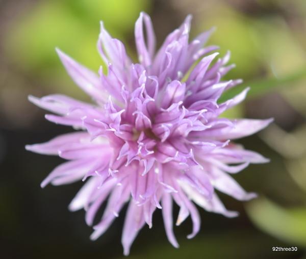 flowering chive