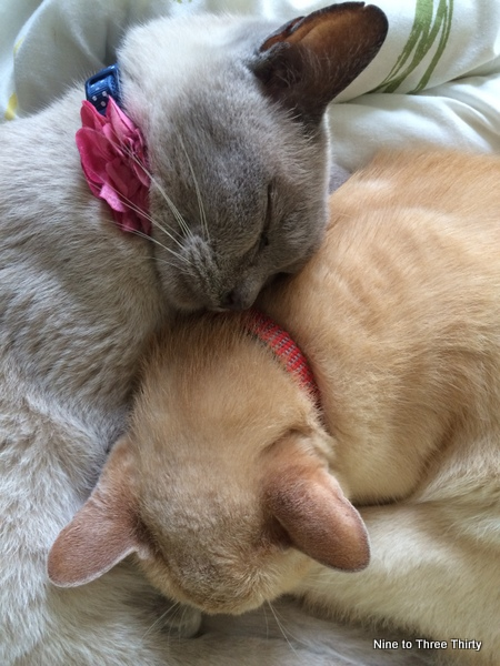 cat siblings burmese