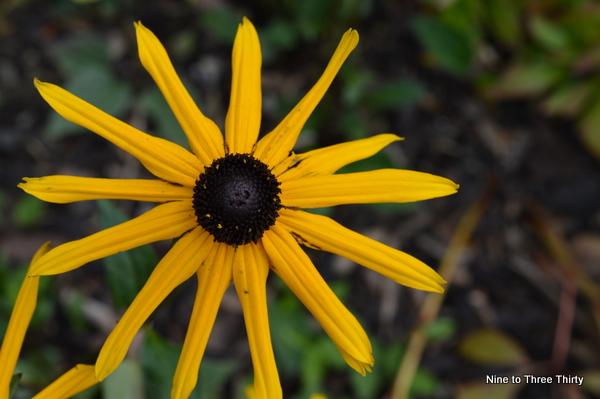 daisy with thin petals