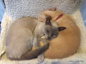 burmese cats sleeping