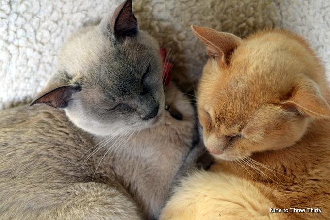 Burmese Cats