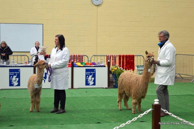 alpaca championships
