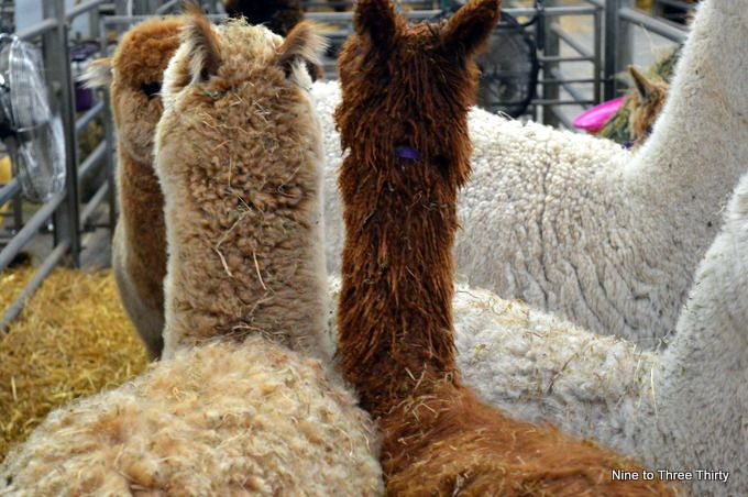 alpacas from rear