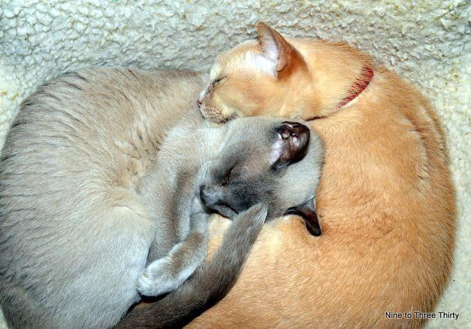sleeping burmese cats
