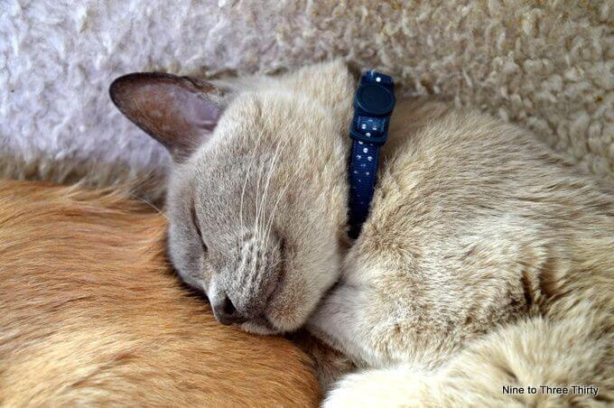 dorevalley bracken burmese cat asleep
