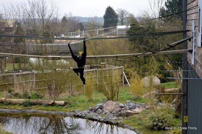 gibbon swinging