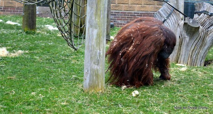 Orangutan at Twycross