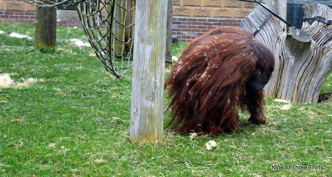 Orangutan at Twycross