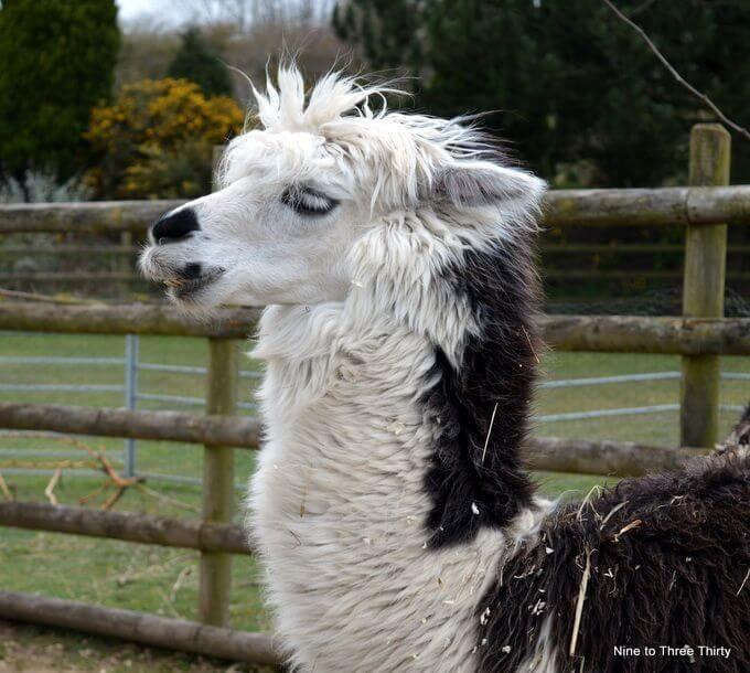 alpacas at twycross