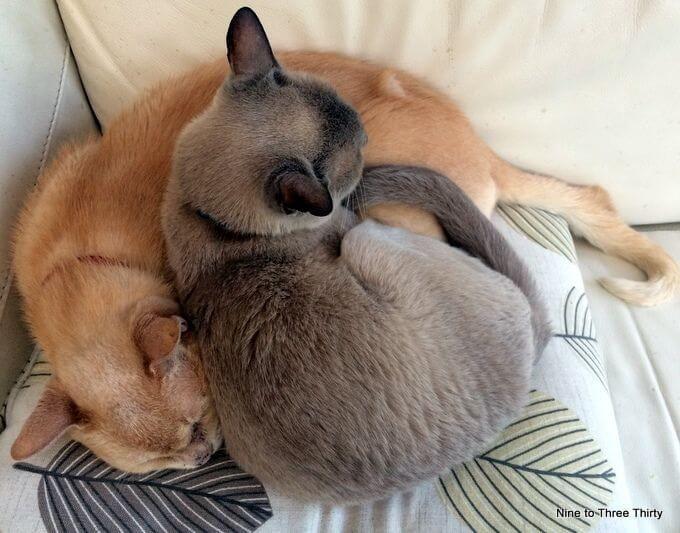 burmese cats sleeping