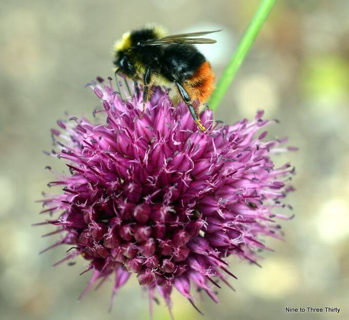 bee on alliums