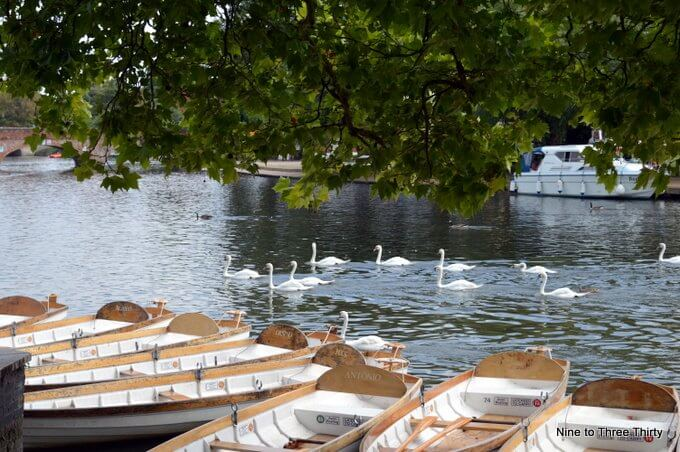 swans on the avon
