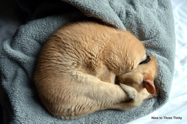 burmese cat asleep