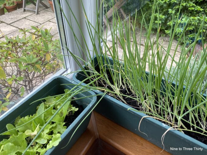 spring onions and lettuce